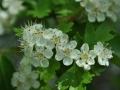 Blüten des Zweifingerweissdorn