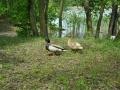 Falkenhagener See Bewohner Entenpaar
