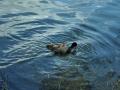 Falkenhagener See mit Jungtieren
