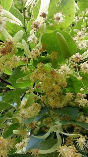 Sommerlinde-Blüten