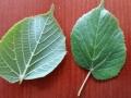 Sommerlinde-Blätter-Vorderseite-Rückseite